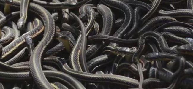 Kanadada bir evden 102 tane yılan çıktı