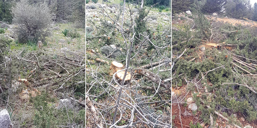 Bufavento'da ağaç katliamı