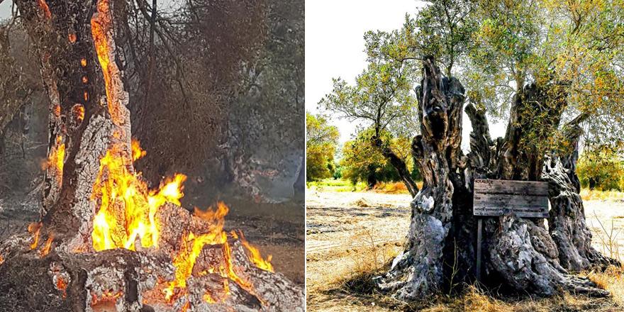 'Kral' ağacı kaybettik, 'Kraliçe' kurtuldu