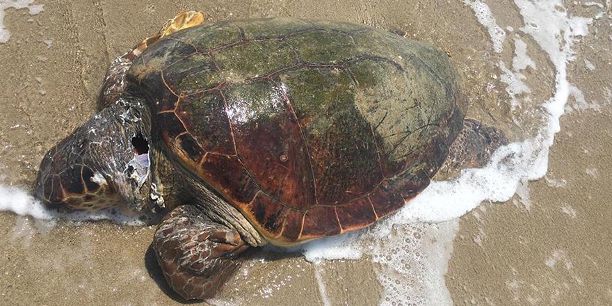 Kaplumbağaları Koruma Cemiyeti'nden denetim çağrısı