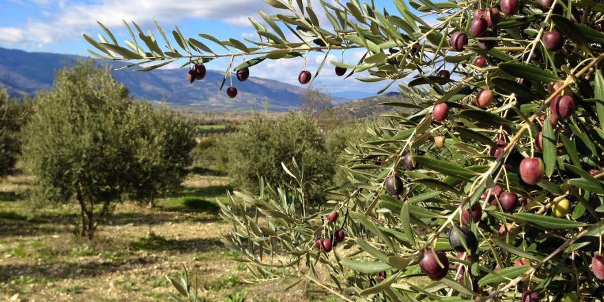 33 dönümlük bahçedeki zeytinlerin hasadı için ihaleye çıkılacak