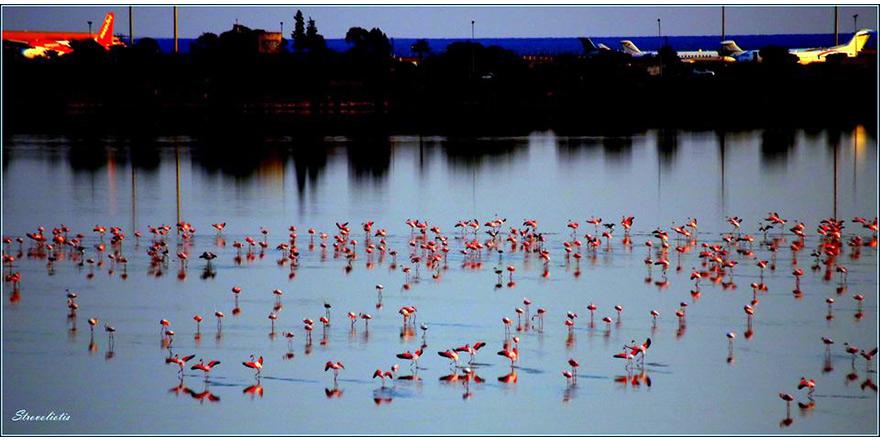 Flamingolar Kıbrıs'ta