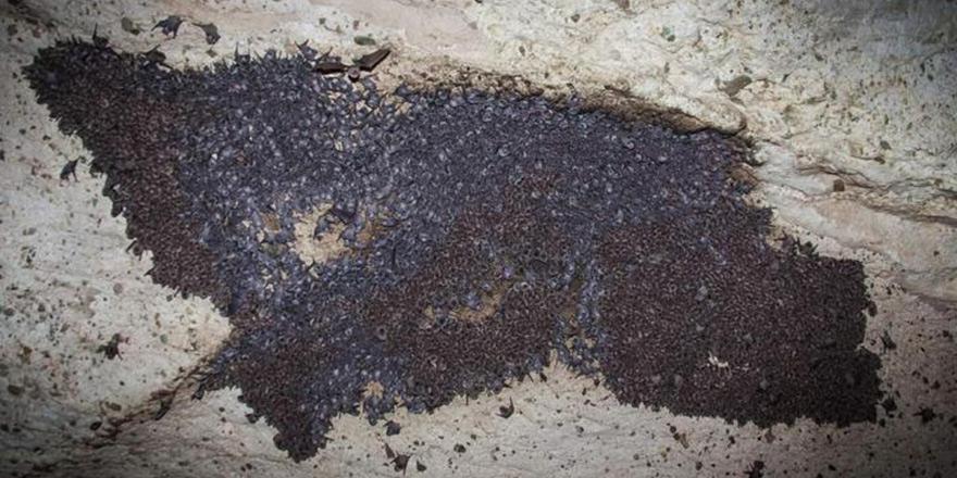 Nesli tükenmekte olan yarasa kolonisi Kıbrıs'ta görüldü
