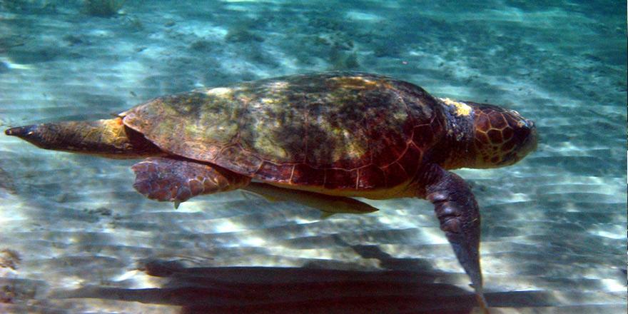 11 bin 50 deniz kaplumbağası yavrusunun denizle buluşması sağlandı