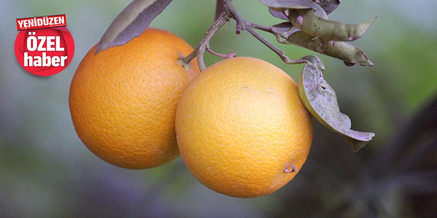 """Narenciyede hasat dönemi başladı, üretici ürün fiyatından mutsuz: """"Cypfruvex üreticiyi yalnız bıraktı"""""""