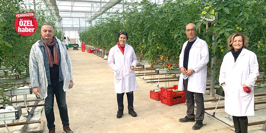 Topraksız tarım ve özel sertifikalı domates